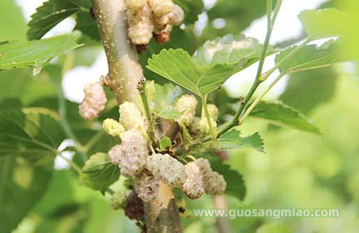 白珍珠果桑品种介绍